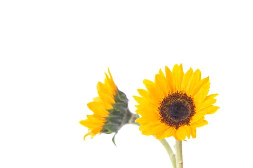 ひまわり「Sunflowers 2」:スマホ壁紙(12)