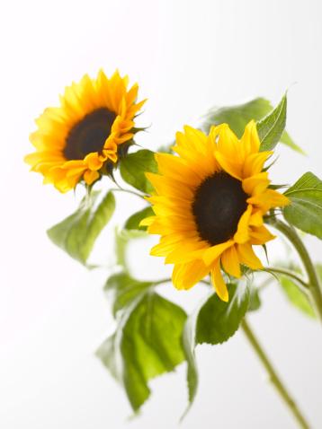 ひまわり「'Two sunflowers (Helianthus annuus), close-up'」:スマホ壁紙(3)