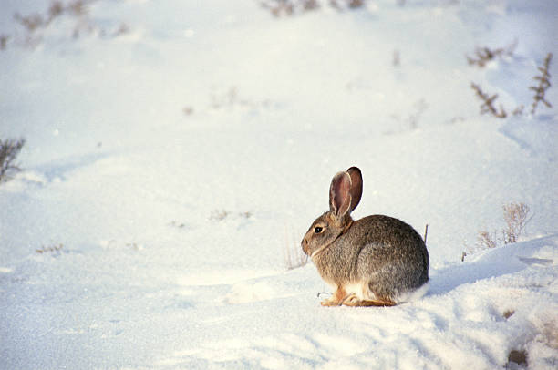 Rabbit in the snow:スマホ壁紙(壁紙.com)