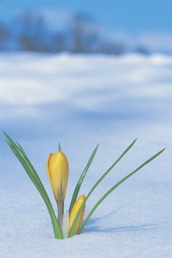 Crocus「Flowers growing through the snow」:スマホ壁紙(15)