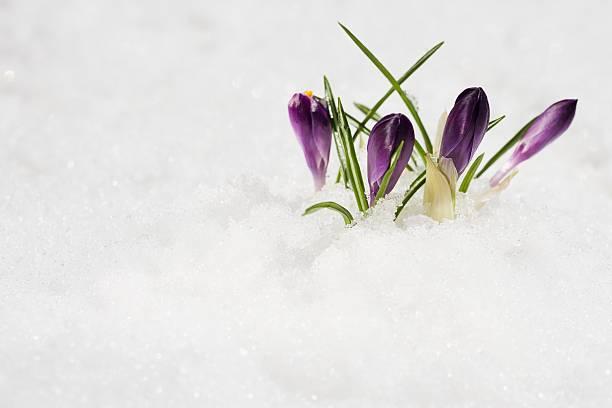 Flowers growing in snow:スマホ壁紙(壁紙.com)