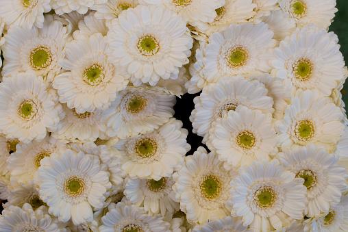 Flower Shop「white gerbera daisies」:スマホ壁紙(0)