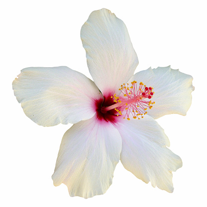 hibiscus「White hibiscus flower in close-up on plain background」:スマホ壁紙(6)
