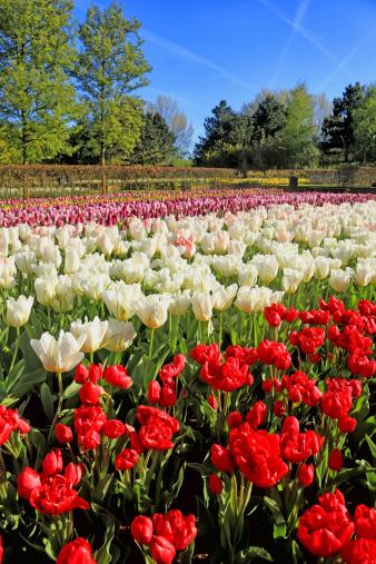 Keukenhof Gardens「Keukenhof Gardens, Lisse, Netherlands」:スマホ壁紙(7)