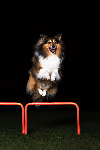 Hurdle「Shetland Sheepdog jumping over hurdle at night」:スマホ壁紙(19)