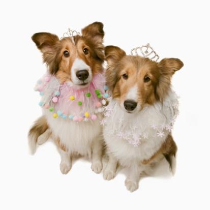 Princess「Shetland sheepdogs dressed in princess costumes, studio shot」:スマホ壁紙(10)