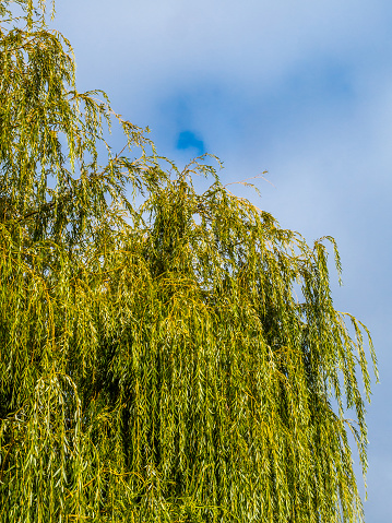 Drooping「Willow tree. Cape Town, South Africa.」:スマホ壁紙(12)