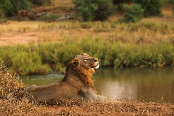 Lion - Feline「An African Safari」:写真・画像(6)[壁紙.com]