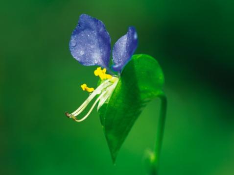 Dayflower「Asiatic dayflower」:スマホ壁紙(4)