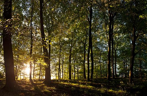 Copse「New day dawns golden sunrise light idyllic summer forest」:スマホ壁紙(10)