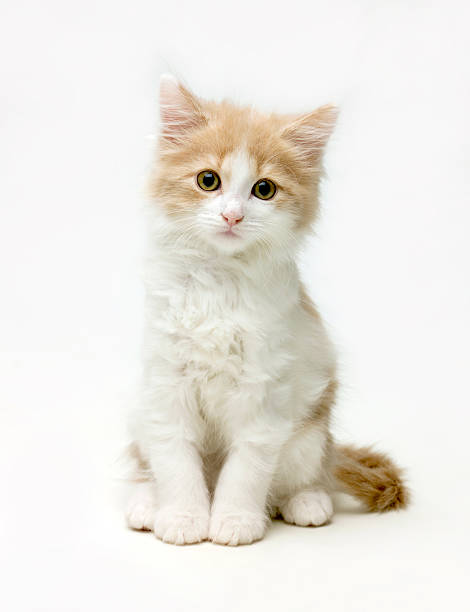 Fluffy white and ginger cat:スマホ壁紙(壁紙.com)