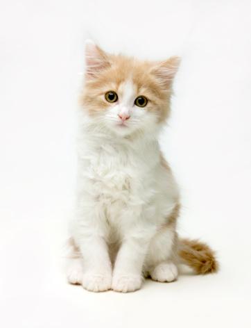子猫「Fluffy white and ginger cat」:スマホ壁紙(1)