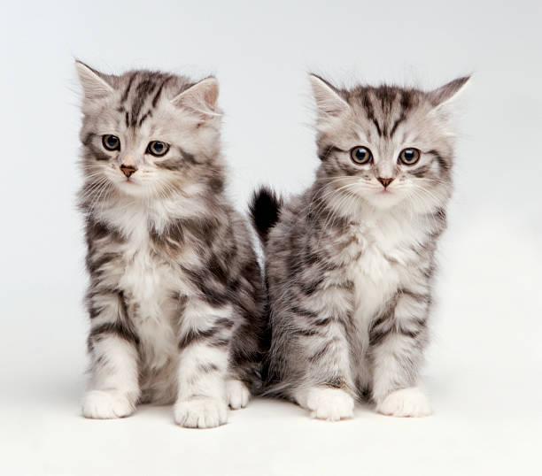 2 Fluffy white and grey kittens:スマホ壁紙(壁紙.com)