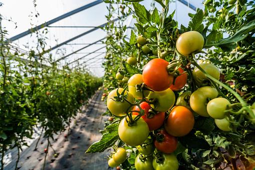 Tomato「Germany, Organic tomatoes growing in greenhouse」:スマホ壁紙(13)