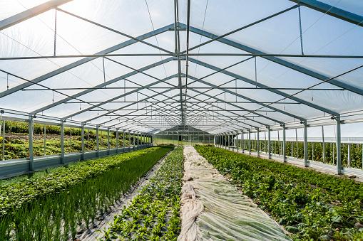 Turnip「Germany, Organic herbs and kohlrabi growing in greenhouse」:スマホ壁紙(3)