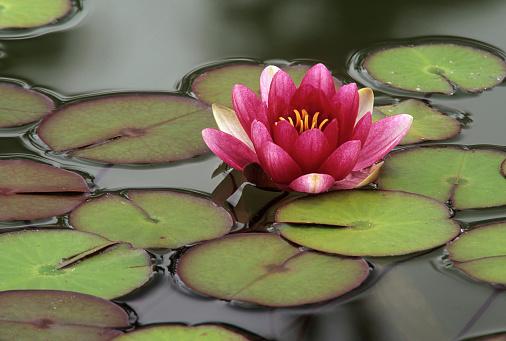 Water Lily「Flowering water lily, Seattle, Washington State, USA」:スマホ壁紙(2)