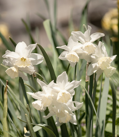 水仙「Flowering White Triandrus Daffodils Thalia」:スマホ壁紙(10)