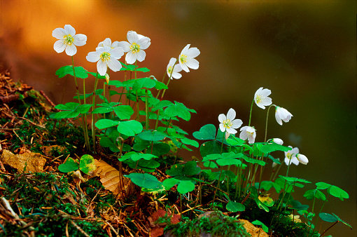 Wood Sorrel「Flowering Wood Sorrel」:スマホ壁紙(6)