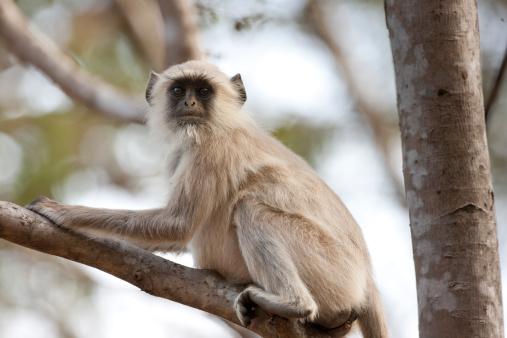Ranthambore National Park「Langur Monkey at Ranthambhore, India」:スマホ壁紙(19)