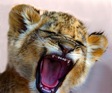 Cub「Lion cub roaring, South Africa」:スマホ壁紙(15)