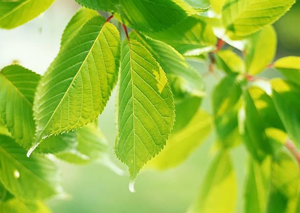 Leaf of Cherry:スマホ壁紙(壁紙.com)