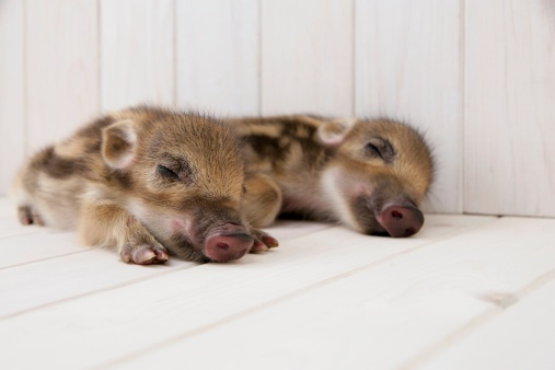 猪「Two baby boars sleeping」:スマホ壁紙(10)