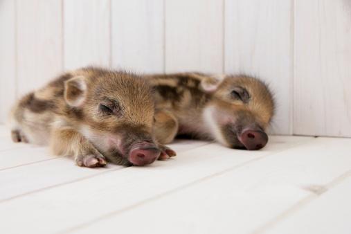 猪「Two baby boars sleeping」:スマホ壁紙(12)