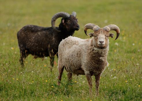 Algae「The North Ronaldsay or Orkney sheep」:スマホ壁紙(2)