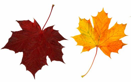 セイヨウカジカエデ「2 つの秋の葉」:スマホ壁紙(7)