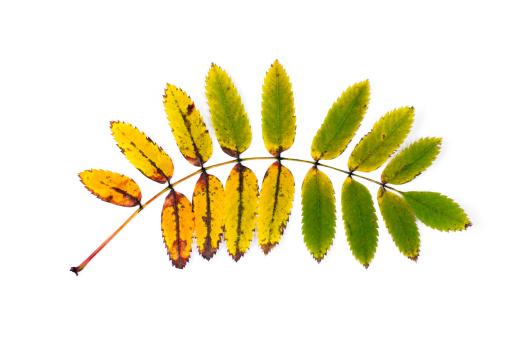 Ash Tree「ash tree leaf in autumn」:スマホ壁紙(6)