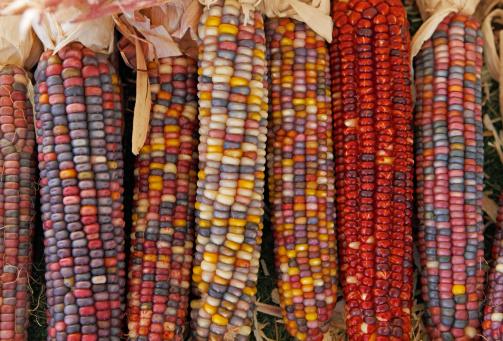 Indian Corn「Indian Corn」:スマホ壁紙(0)