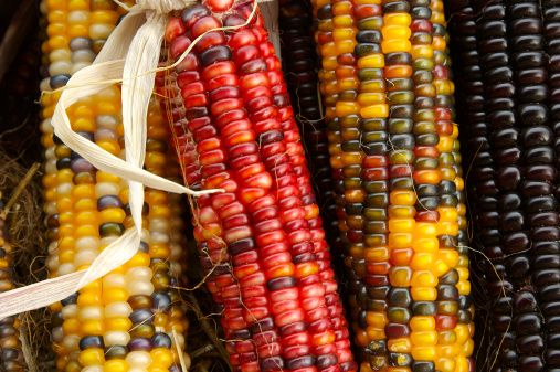 Indian Corn「Indian Corn cobs」:スマホ壁紙(4)