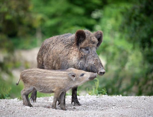 Wild Boar, Wildschwein, with Piglet / Ferkel:スマホ壁紙(壁紙.com)