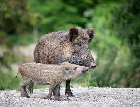 Boar「Wild Boar, Wildschwein, with Piglet / Ferkel」:スマホ壁紙(3)