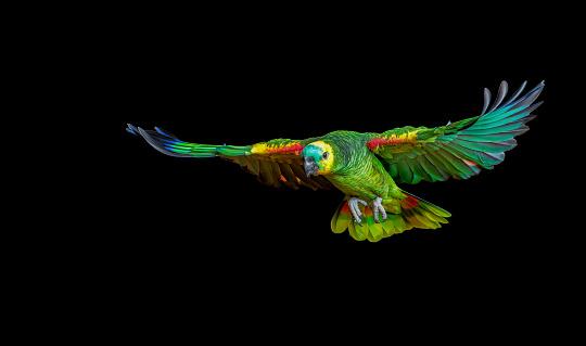 Bird「Colorful parrot flying」:スマホ壁紙(7)