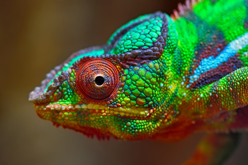 Animal Eye「colorful panther chameleon」:スマホ壁紙(3)