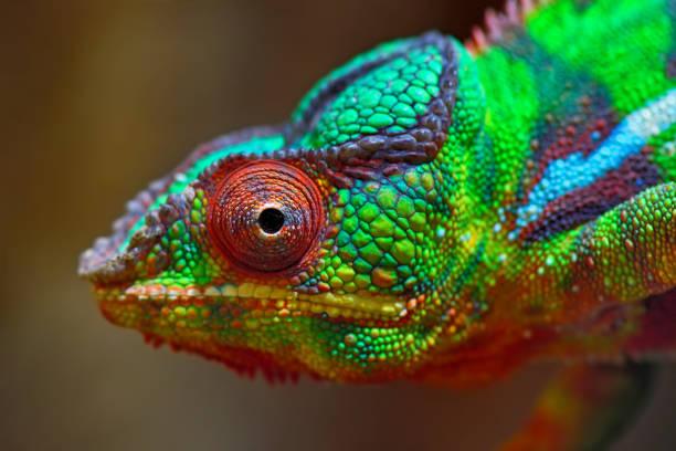 colorful panther chameleon:スマホ壁紙(壁紙.com)