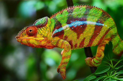 Animal Eye「colorful panther chameleon」:スマホ壁紙(0)