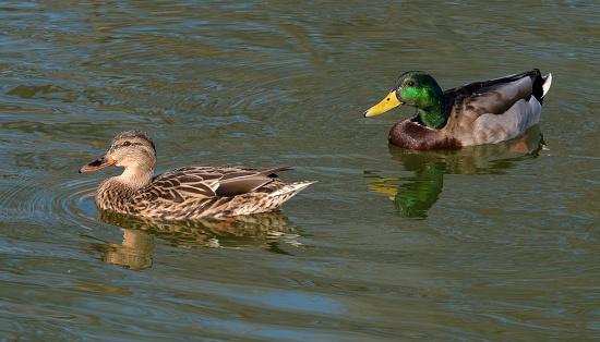 Birds「Pair of male and female mallard ducks on water.」:スマホ壁紙(7)
