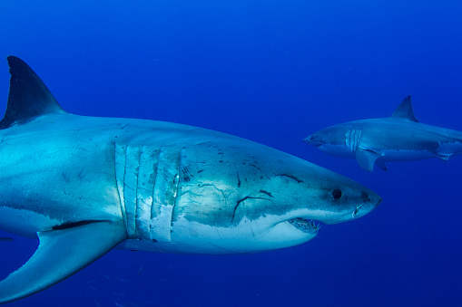 Furious「Pair of male great white sharks, Guadalupe Island, Mexico.」:スマホ壁紙(13)