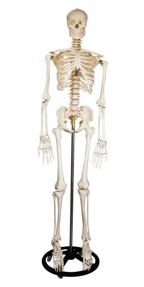 Biology「Human Skeleton」:スマホ壁紙(3)