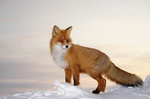 Fox「Majestic fox.」:スマホ壁紙(6)