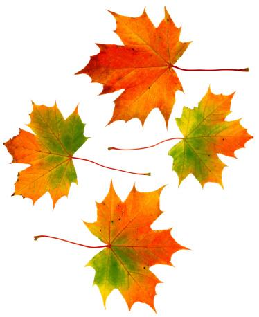 かえでの葉「4 つの秋の葉」:スマホ壁紙(11)