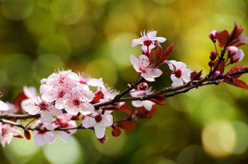 プラムの木「Pink plum blossoms of purple-leaved cherry plum, Prunus cerasifera.」:スマホ壁紙(10)