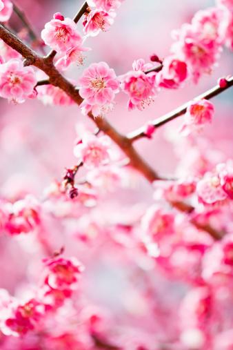 梅の花「ピンクの花」:スマホ壁紙(15)