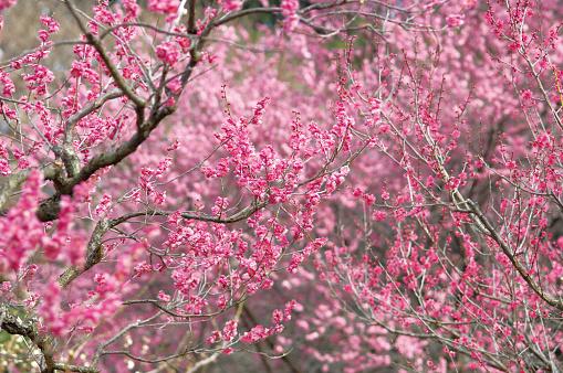梅の花「Pink plum blossoms」:スマホ壁紙(17)
