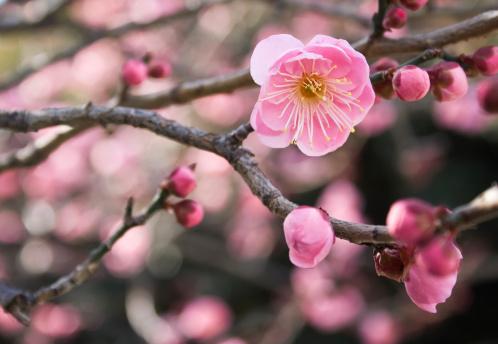 梅の花「ピンクの花」:スマホ壁紙(6)