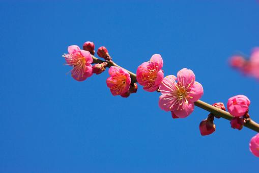 梅の花「Pink plum blossoms」:スマホ壁紙(15)