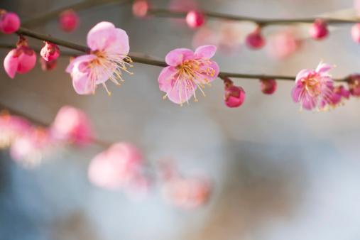 梅の花「ピンクの花」:スマホ壁紙(8)