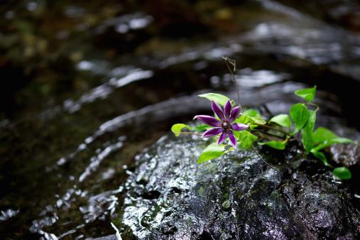 Wabi Sabi「Clematis (Clematis florida) on a rock」:スマホ壁紙(15)